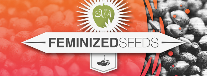 Feminized Seeds Eva Seeds