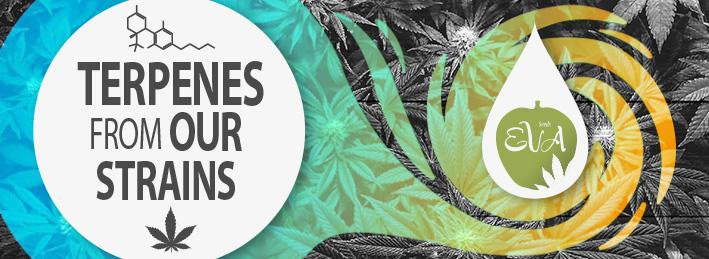 Terpenes Cannabis Eva Seeds